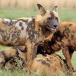 معلومات عن الكلب البري الأفريقي