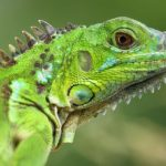 معلومات عن الاغوانا الخضراء