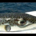 معلومات عن سمك الارنب