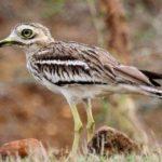 معلومات عن طائر الكروان الصحراوي
