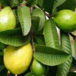 الجوافة مصدر للمعادن والفيتامينات