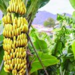 الموز الغني بفيتامين B6